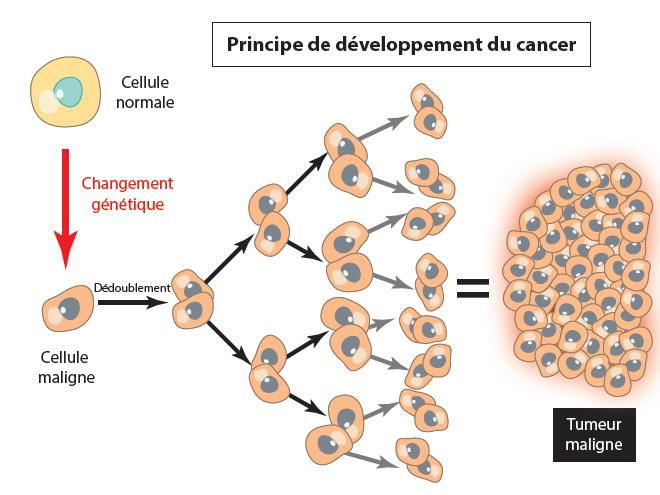 Principe du développement du cancer